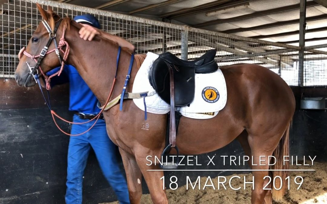 VIDEO: Snitzel x Tripled filly at Blair Richardson's learning the ropes
